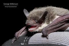 Rueppell's Pipistrelle (Pipistrellus rueppellii) (George Wilkinson) Tags: bat ruppells rueppells pipistrelle pipistrellus rueppellii