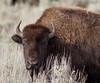 IMG_3764 Bison (cmsheehyjr) Tags: cmsheehy colemansheehy nature wildlife bison buffalo yellowstone yellowstonenationalpark