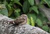Ladder-tailed Nightjar (Tris Enticknap) Tags: laddertailednightjar nightjar hydropsalisclimacocerca peru amazonbasin tambopata bahuajasonenenationalpark