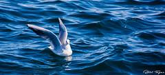 Photos are prohibited while swimming .... (Bilel Tayar) Tags: sea seagull gull bird birds swim water nature seascape animal nikon nikond5200 tamron tamron18270 mouette faune animals oiseaux mer aquatique plage baignade