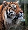 Tiger (14) (Padski1945) Tags: naturalhistory animals animal tiger bigcat bigcats