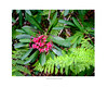 Wartah - The Overland Track (paynedav95) Tags: tasmania theoverlandtrack cradlemountainnationalpark waratah ferns plant flower fujixt2 xf60mm