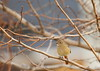 female  daurian redstart (yasushiinanaga) Tags: japan canoneos6d sigma150600mm bird natuer outside