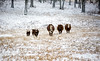 Family (Alex Szymanek) Tags: cows snow winter christmas family walk field cold weather come across far close stride