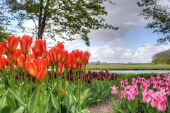 Time for spring to come? (klaash63) Tags: klaasheiligenberg klaas klaash63 heiligenberg annapaulowna noordholland northholland nederland holland netherlands voorjaar spring bloem flower bloembol flowerbulb bulb bol tulp tullip landschap landscape sony a77 alpha sonyalpha sonya77
