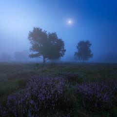 Misty Morning (albert dros) Tags: dutch netherlands misty mist fog sunrise moonrise moon heather hilversum heide trees tree mood atmosphere spooky purple flowers rural travel tourism