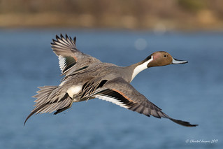 Retrospective 2017 - Never enough of Northern Pintail