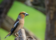 Hawfinch - (Coccothraustes coccothraustes) 'Z' for zoom (hunt.keith27) Tags: uks largest finch massive powerfulbill shy difficult hawfinch coccothraustescoccothraustes bird bill bigbeak feather log birds some wood