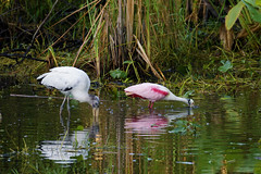 Roseate Spoonbills (c) 2017 Dr. Lester Shalloway. all rights reserved; at Loop Road