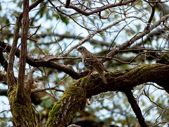 Scaly Thrush - in the woods - Western Himalayas ~1900m Altitude (forest venkat) Tags: tree bird sky wow wilderness weekend wood wildlife wild water friend flower fanatic forest flight frog feel female food fool foot great gates girl garden good guys grass got grasshopper green red rock road root europe belgium france netherlands finland poland amsterdam moscow england iceland day sunset beach nature blue night white flowers portrait art light snow dog sun cloudy clouds bw old one other online macro music new moon orange flickr