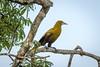IMG_7580 (jaglazier) Tags: 121717 2017 capok copyright2017jamesaglazier december deciduoustrees ecuador napowildlifepreserve naturepreserves orellana trees animals birds oropendola parks orellanaprovince