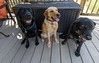 Down to Three (Maggggie) Tags: dogs pups family labs