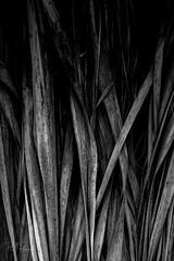 Palm (Perry J. Resnick) Tags: andreascanyon palmsprings20162017 perryjresnick pjresnickgmailcom pjresnickphotographygmailcom ©2017pjresnick ©pjresnick pjresnick nature light fuji fujifilm noir atmosphere atmospheric digital shadow texture shadows angle perspective naturallight xf fujinon resnick soft design plant depthoffield black fujixpro2 xpro2 pattern rectangle rectangular outdoor 56mm fujinon56mmf12 56mmf12 california desert subtle abstract 4x6 depth palm leaves close minimal minimalism monochrome monochromatic blackandwhite bw