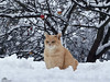 Another Fresh New Year Is Here! Happy 2018 ♥ (Xena*best friend*) Tags: bradpitt bp gingercats catsinthesnow catsinthewhitestuff snow cold frozen freezing appletree apple ilovewinter ilovesnow cats whiskers feline katzen gatto gato chats furry fur pussycat feral tiger pets kittens kitty piedmontitaly piemonte canoneos760d italy wood woods wildanimals wild paws animals calico markings ©allrightsreserved purr digitalrebelt6s canonef70300mm flickr outdoor animal pet
