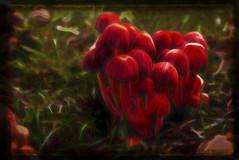 magic mushrooms (Bobinstow2010) Tags: mushroom magic fungi gloucester highnamcourt arty red topaz photoshop posterize painting