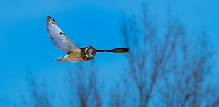 Hibou des marais - Short-eared Owl