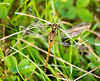 Colzium 01 Sept 2017-0049.jpg (JamesPDeans.co.uk) Tags: gb greatbritain westlothian insects prints for sale unitedkingdom scotland digital downloads licence man who has everything britain lightsfemale nature wwwjamespdeanscouk dragonflies lothian blackdarter landscapeforwalls europe uk james p deans photography digitaldownloadsforlicence jamespdeansphotography printsforsale forthemanwhohaseverything