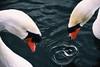 Cerchi (Marta Marcato) Tags: swan swans cigni cigno water acqua drops drop goccia cerchi circles circle gocce blu orange blue arancione elegance eleganza blur blurred focus sfocato nikond7200