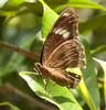 India 2017 142 (megegj)) Tags: gert india vlinder schmetterling papillon butterfly