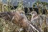 R18_8713 (ronald groenendijk) Tags: cronaldgroenendijk 2018 falcotinnunculus bird birds birdsofprey groenendijk kestrel nature natuur natuurfotografie netherlands outdoor ronaldgroenendijk roofvogels torenvalk vogel vogels
