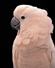 Profile. (catherine4077) Tags: parrot cockatoo ruffledfeathers sanctuary rescue photoexpo 2017