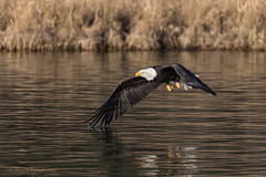 Skimming the Surface (elliott845) Tags: eagle baldeagle bird nature wildlife pnw pacificnorthwest washington washingtonstate animal baldy raptor birdofprey birdinflight pugetsound