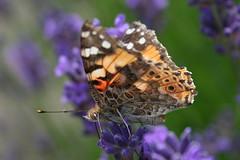 Belle dame  (Vanessa cardui) - Havré (Belgique). (grandmont.jeanpol) Tags: papillon lepidoptera belgique belledame vanesseduchardon vanessacardui havréhainaut belgiqueenimages