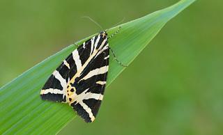 Jersey Tiger  (Euplagia quadripunctaria).