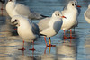 Yellow 2XLD. (stonefaction) Tags: black headed gull ringed swannie ponds dundee scotland birds nature wildlife