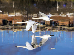 swan fly past on the river Tees at Stockton (Yvonne Alderson) Tags: swans flying river north east white bird stockton yvonne alderson reflection water
