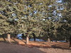 Conifers along a creek, Middle Atlas south of Ifrane, Morocco (Paul McClure DC) Tags: morocco maroc almaghrib jan2017 scenery ifraneprovince middleatlas