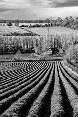 Lavender Farm, Shoreham, Kent, England (Aethelweard) Tags: shoreham england unitedkingdom gb countryside fields rural kent bw blackandwhite farm lavender canon efs18135mmf3556isstm landscapephotography naturephotography