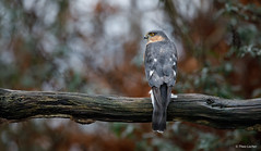 Sperwer - Eurasian Sparrowhawk - Accipiter nisus -2066 (Theo Locher) Tags: eurasiansparrowhawk sperwer sperber epervierdeurope accipiternisus birds vogels vogel oiseaux netherlands nederland copyrighttheolocher