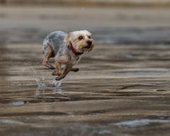 850_0534 (eijiphoto.com) Tags: dog running beach pet photography lajolla shores action mighty jumping racing sprint playing photographer