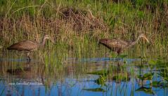 Hunting in Marsh (tclaud2002) Tags: limpkin bird wadingbird aves wildlife hunting hunt marsh grass applesnail water pineglades naturalarea pinegladesnaturalarea jupiter florida usa