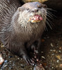 otter ouwehands BB2A4912 (j.a.kok) Tags: otter ouwehands animal asia azie europe europa mammal zoogdier dier
