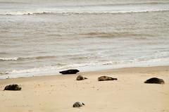 Seals - Norfolk England (AJ Mitchell) Tags: seals norfolk greyseal seashore pups phoques