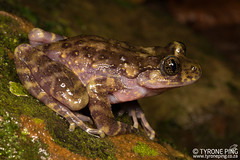Hadromophryne natalensis - Natal Cascade Frog. (Tyrone Ping) Tags: hadromophryne natalensis natal cascade frog frogging amphibians amazing amphibian kwazulunatal wwwtyronepingcoza tyroneping rare macro 100mmmacrof28 wild wildlife wildanimals wildherps herping herps herpetology africa african closeup beautiful nature ngc natural animals animal adventure anphibian f28 field frogs fieldherping flash mt24ex life photography reptiles southern south