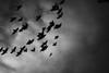 (what seems like) moments of freedom, open series (Neko! Neko! Neko!) Tags: blackandwhite blackwhite bw mono monochrome birds sky freedom illusion emotion feeling symbolic expression expressionism pinhole