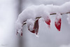 Story of one day (Irina1010_out for sometime) Tags: branch leaves red snow bokeh thicksnow winter december2017 nature canon ngc npc
