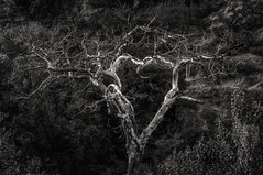 heart of the forest (Man in the Road) Tags: beauty blackandwhite branches bw cuyamacamountains davidgregg forest heartshape julian monochromatic outdoors sandiegocounty sceniclandscape sepia shadows southerncalifornia tree woods