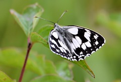 Marvelous Marbled. (pstone646) Tags: marbledwhite butterfly insect nature animal wildlife closeup plant green bokeh kent fauna
