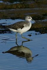 _DSC4530 - Greenshank (steve R J) Tags: greenshank fingeringhoe wick ewt reserve colchester essex wader birds british reflection