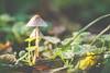 Mushrooms (freetimephoto) Tags: nikon d7100 tokina macro nature mushrooms closeup colors calm autumn vojvodina bokeh vajdasag