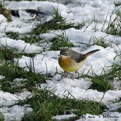 "J Grey Wagtail in Snow (annjbee ""Birdie Lover"") Tags: greywagtail birds nature wildlife birdwatcher riverwildlife"