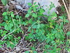 Wild Poinsettia 03-20171216 (Kenneth Cole Schneider) Tags: florida miramar westmiramarwca