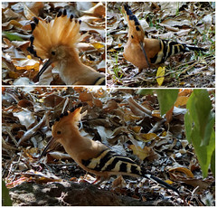 Hoopoe (LeftCoastKenny) Tags: madagascar isalo day10 isalonationalpark bird