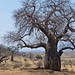 African Safari. The baobab.