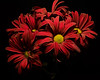 Cluster of Red Mums 1117 (Tjerger) Tags: nature black blackbackground bloom blooming blooms bunch closeup cluster fall flora floral flower flowers group macro plant portrait red wisconsin yellow nautral