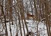 Alert (mpalmer934) Tags: whitetail deer doe woods